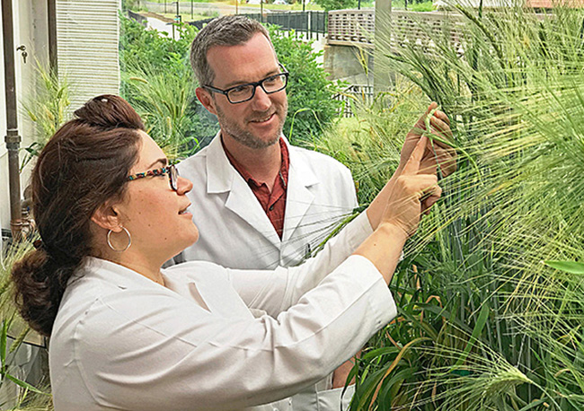 Two scientists looking at barley plants in a greenhouse