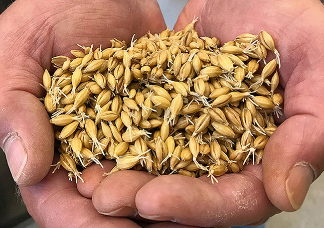 Two hands holding barley, which has been partially malted, with rootlets still attached