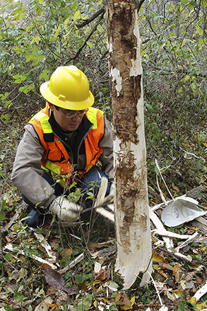 A scientist debarking infested ash trees