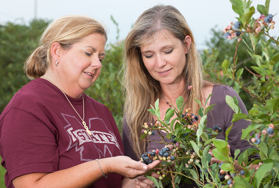 Scientists examine Baldwin blueberries on a blueberry bush.