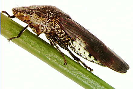 An adult glassy-winged sharpshooter