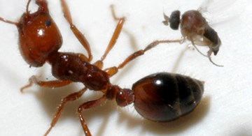 A parasitic phorid fly attempts to lay an egg into a fire ant worker.