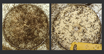 A photo showing uninfected ant colony next to a photo showing the same colony 6 weeks after inoculation with SINV-3.