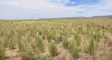 The research site 10 years later, in May 2018, is dominated by a healthy mix of Siberian wheatgrass, bluebunch wheatgrass, and Sherman big bluegrass