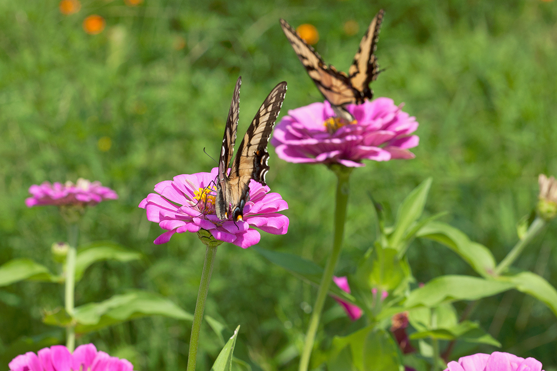 Two swallowtail butterflies on zinnia flowers