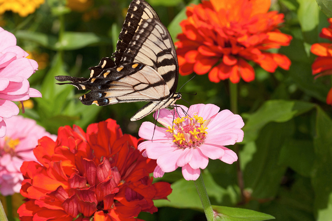 A swallowtail butterfly feeds on a pick zinnia flower
