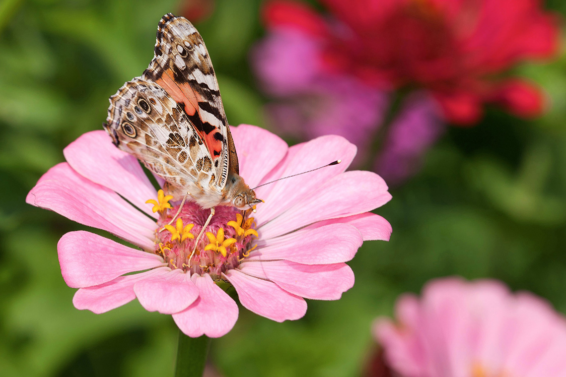 An American lady butterfly feeds on a zinnia flower