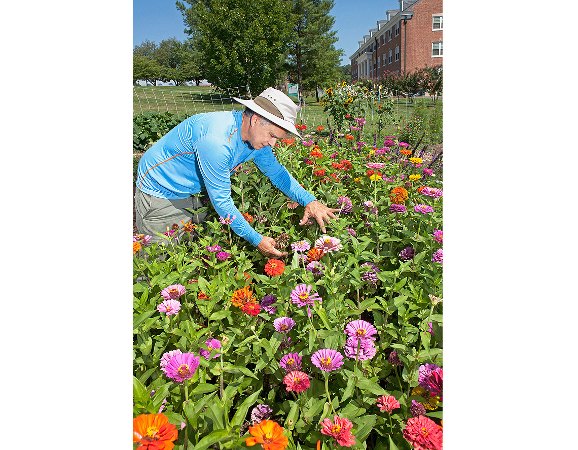 A scientist examines zinnia flowers in the Pollinator Garden