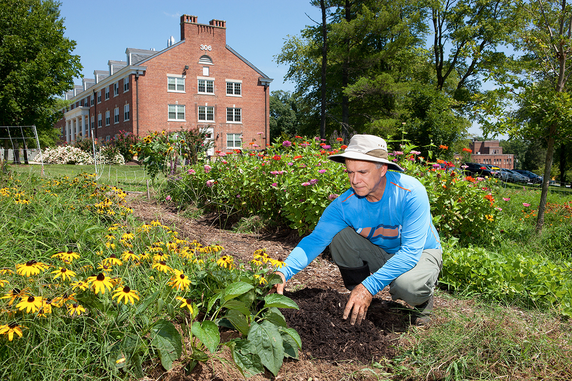 A scientist adds mulch to black-eyed Susan flowers in the Pollinator Garden