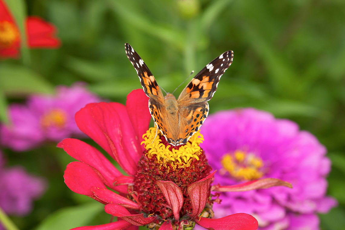 An American lady butterfly sits on the crown of a zinnia flower