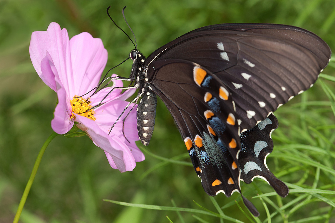 A black swallowtail butterfly feeds on a pink cosmos flower