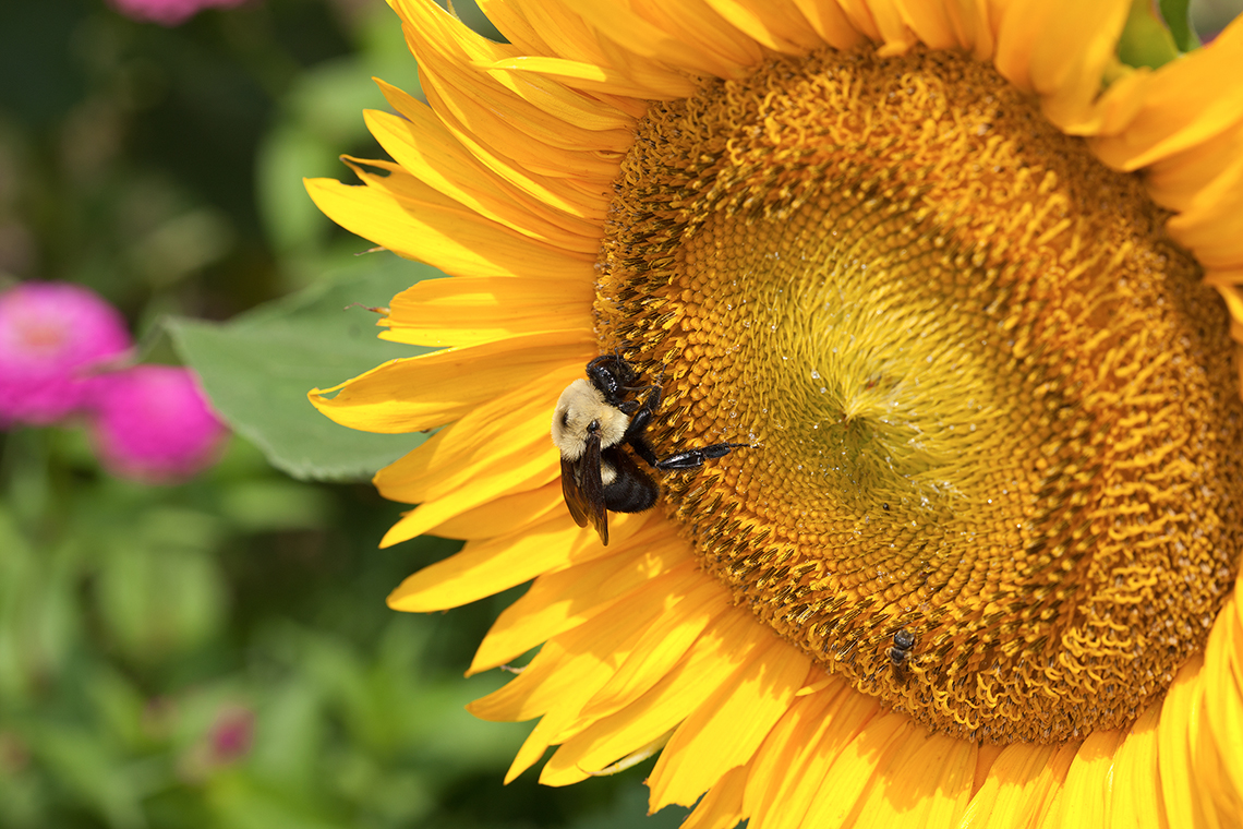 A bumble bee feeds on a sunflower