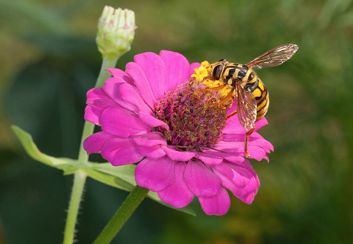 A hover fly feeds on a zinnia flower