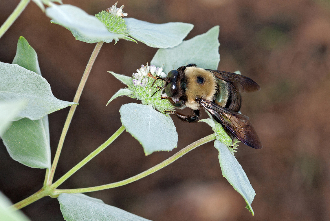 A carpenter bee feeds on a mountain mint flower