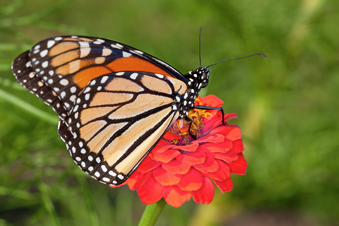 A monarch butterfly sits on top of a red zinnia flower