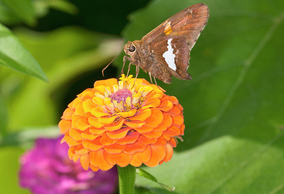 A silver-spotted skipper butterfly on a zinnia flower