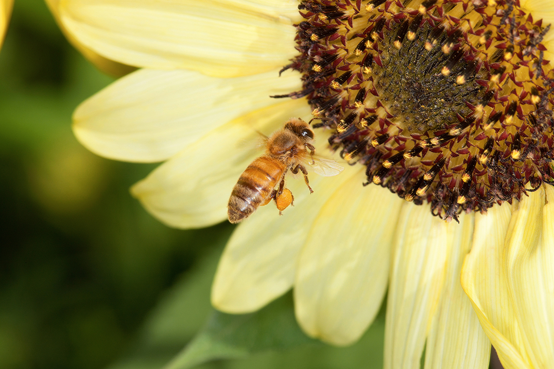 A honey bee hovers near a sunflower