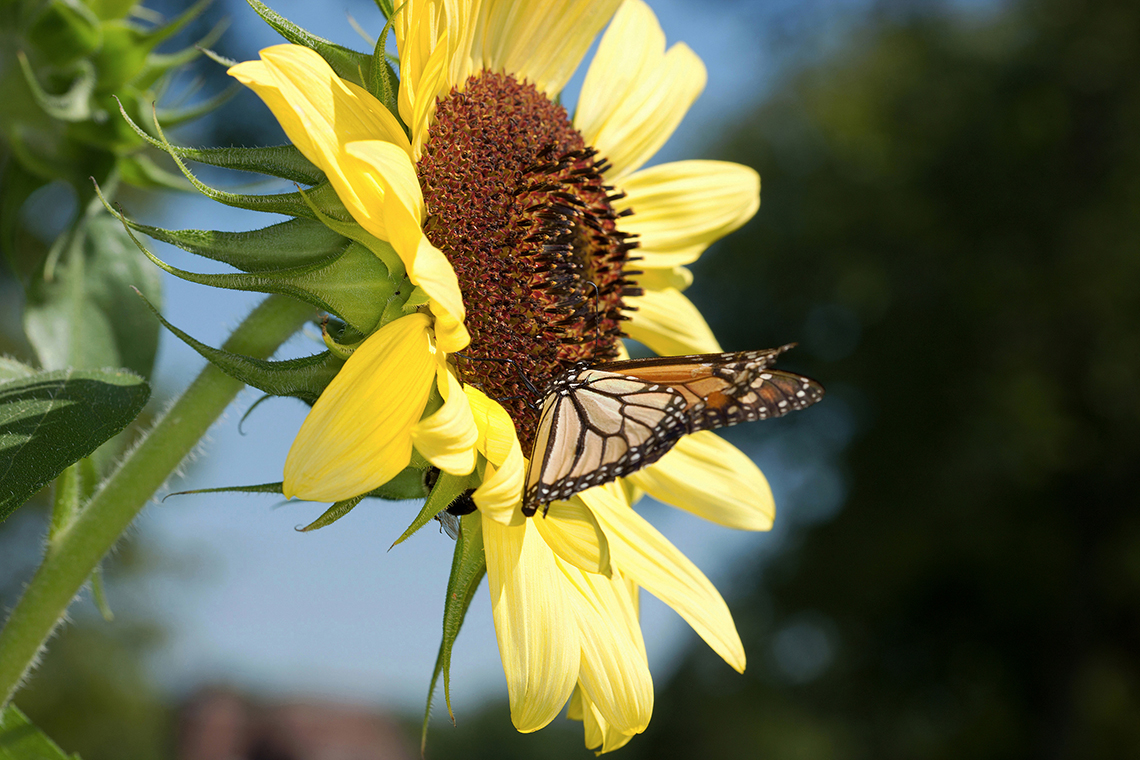 A monarch butterfly feeds on a sunflower
