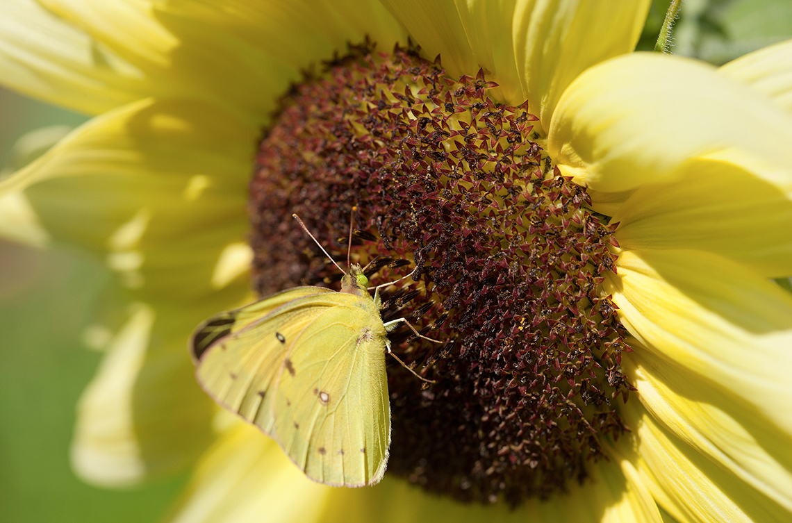 A cloudless sulphur butterfly feeds on a sunflower