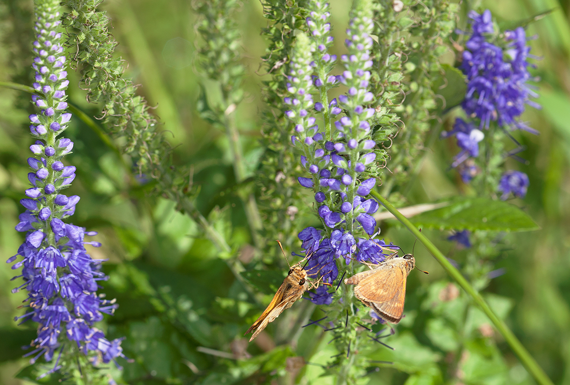 Skipper butterflies on delphinium flowers