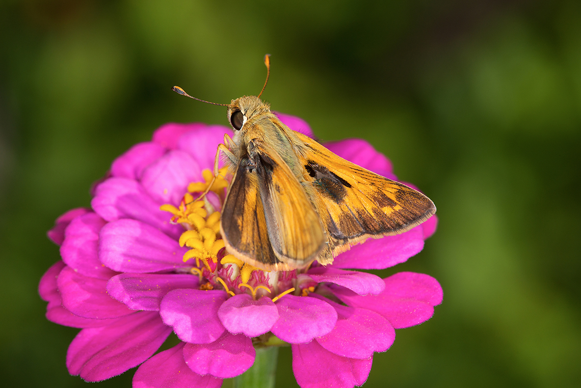 A skipper butterfly on a pink zinnia flower
