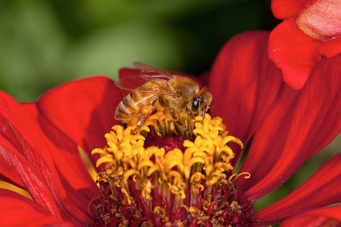 A honey bee feeds on a zinnia flower