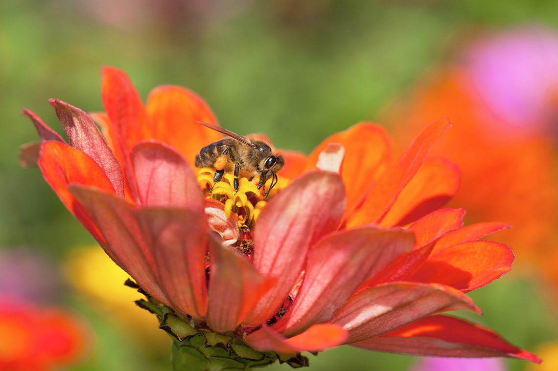 A honey bee feeds on an orange zinnia flower