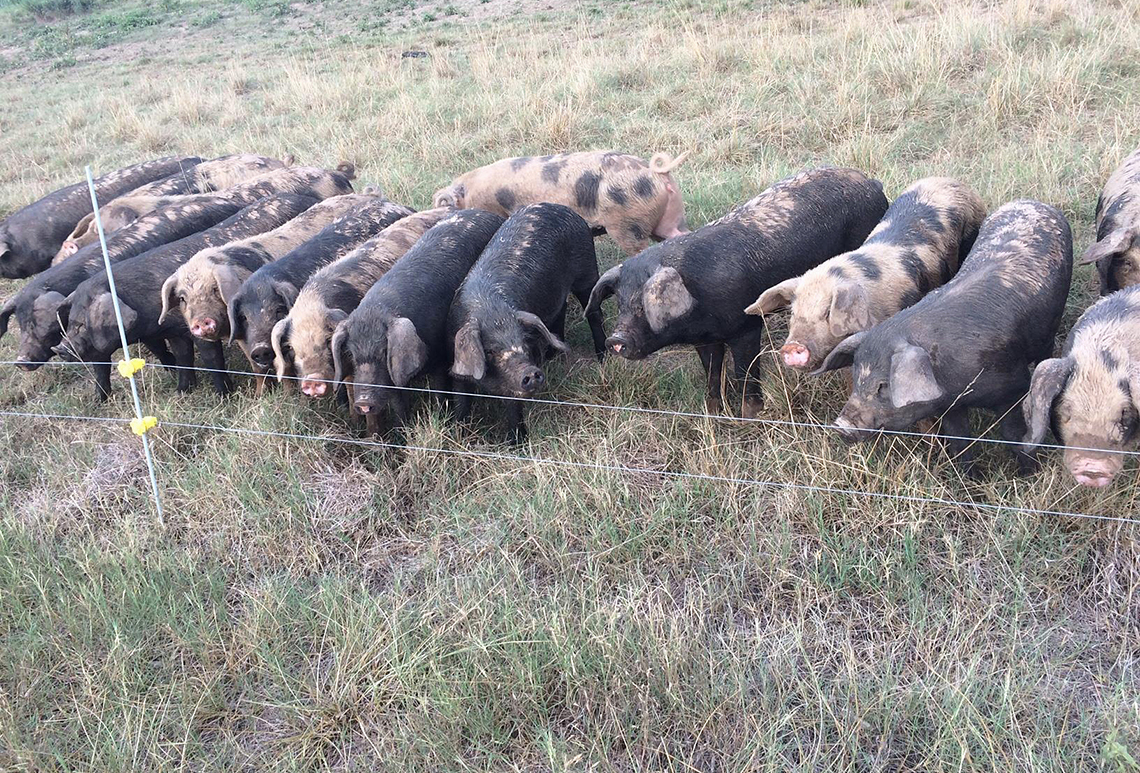 Pasture-raised hogs on a farm