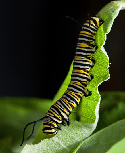 a monarch caterpillar feeds on a common milkweed leaf
