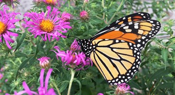 a monarch butterfly feeds on a New England aster flower