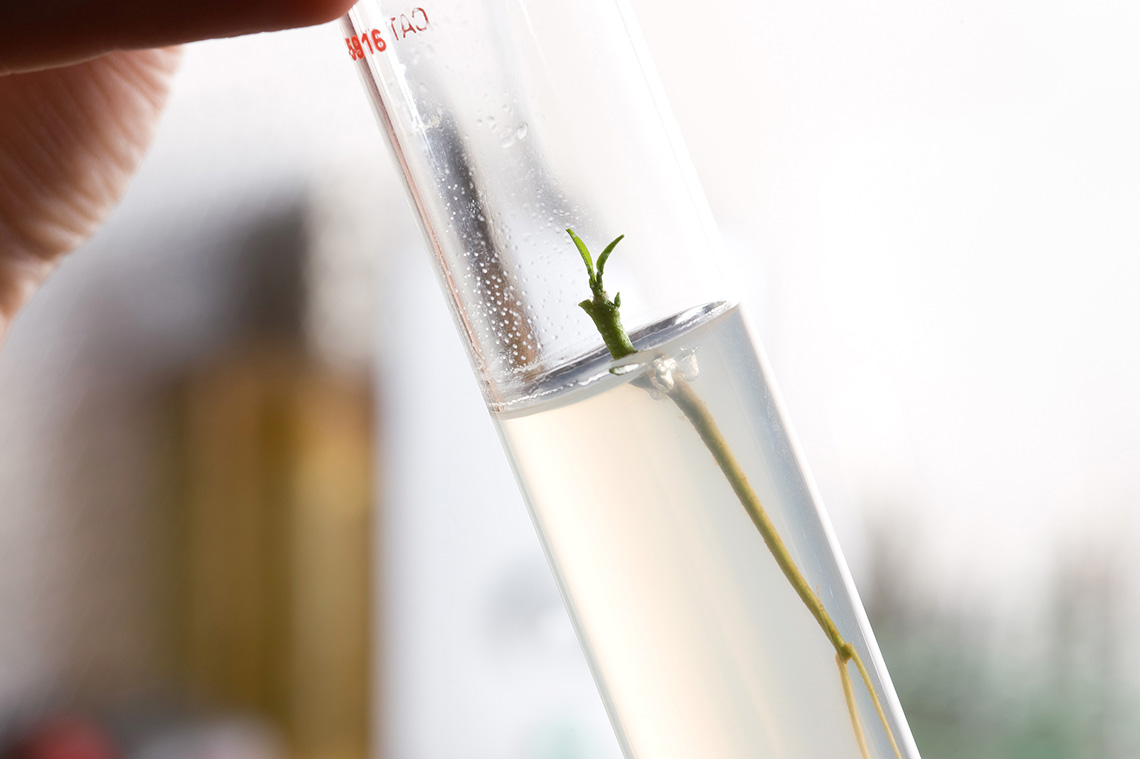 Citrus seedling in tissue culture inside a test tube