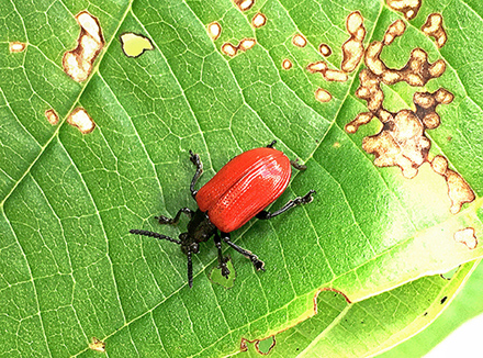 A red air potato beetle on a damaged leaf.