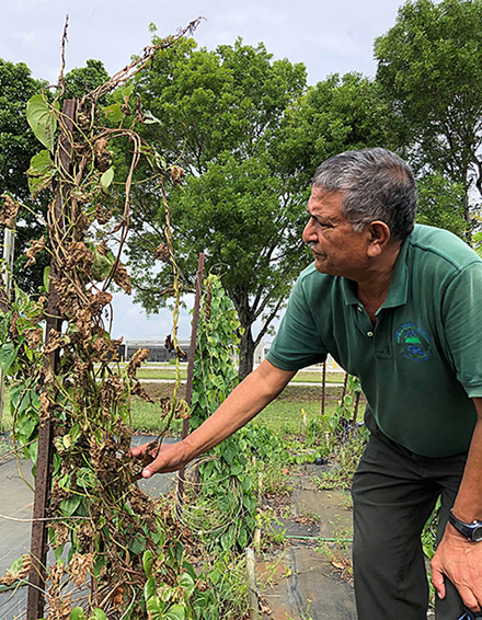 ARS scientist examines damaged air potato vines.