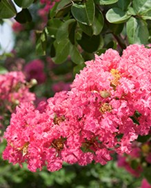 Flower of a 'Seminole' crapemyrtle.