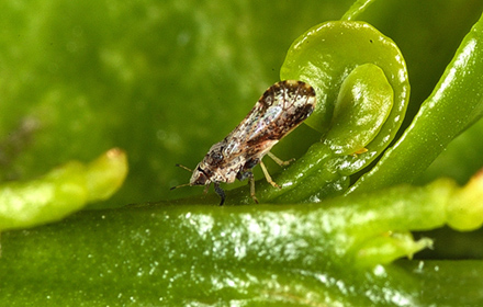Adult Asian citrus psyllid on a young citrus leaf.