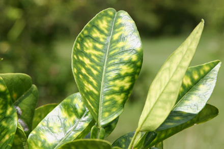 Orange tree leaves showing yellow blotchy mottling caused by citrus greening.