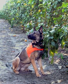 A detector dog sitting next to a citrus tree