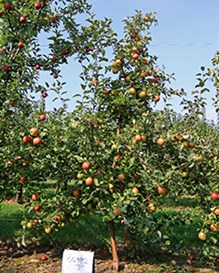 Honeycrisp apples on trees