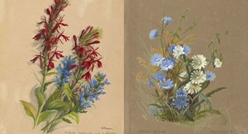 Watercolor of Lobelia and Cichorium from the manuscript, Wildflowers of America