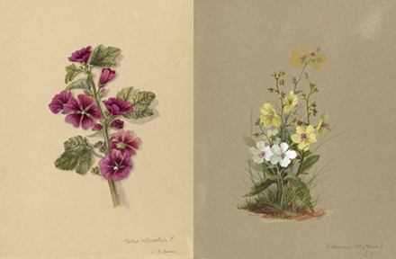 Watercolor of Malva and Verbascum from the manuscript, Wildflowers of America, Malva and Verbascum