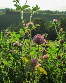 Red clover hay field